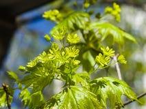 Blühende Norwegen-Ahorn oder Acer-platanoides, Blumen mit unscharfem Hintergrundmakro, selektiver Fokus, flacher DOF Lizenzfreie Stockfotografie