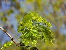 Blühende Norwegen-Ahorn oder Acer-platanoides, Blumen mit unscharfem Hintergrundmakro, selektiver Fokus, flacher DOF Lizenzfreies Stockfoto
