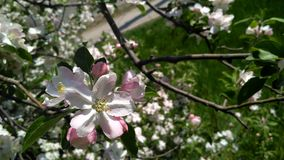 Blühende Obstbaumblumen Stockbild