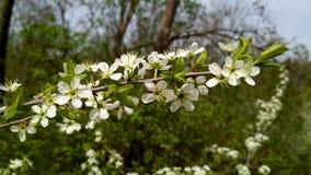 Blühende Obstbaumblumen Lizenzfreies Stockbild