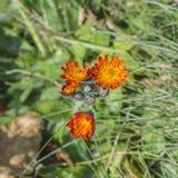 Blühende orange Hawkweed-Blumen Lizenzfreie Stockbilder