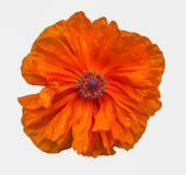 Blühende orange Mohnblumenblume lokalisiert auf Weiß Stockbilder