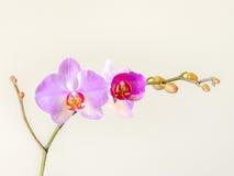 Blühende Orchidee Lizenzfreies Stockfoto