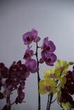 Blühende Orchideen Lizenzfreies Stockfoto