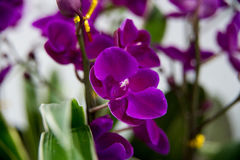 Blühende Orchideen Lizenzfreie Stockbilder