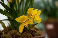 Blühende Orchideen Stockbild