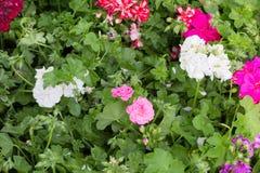 Blühende Pelargonie Stockbild