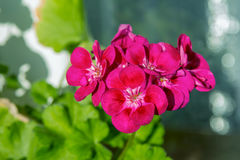 Blühende Pelargonie Stockfotografie