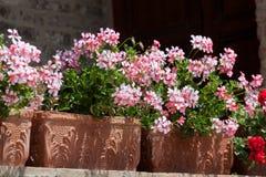Blühende Pelargonie in einem dekorativen Kasten lizenzfreies stockbild