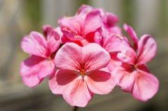 Blühende Pelargonie, rosa Lizenzfreie Stockfotos