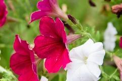 Blühende Petunien des Rotes und des Weiß Lizenzfreie Stockfotos