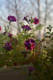 Blühende Petunien im Blumentopf auf dem Balkon im sonnigen Herbsttag lizenzfreies stockfoto