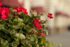 Blühende Petunien im Straßenblumenbeet, flache Schärfentiefe Stockfoto