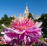 Blühende Pfingstrosenblumen im sonnigen Campus von Moskau-Universität lizenzfreies stockfoto