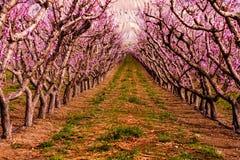 Blühende Pfirsich-Obstgärten in den Palisaden Co stockfotos