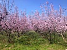 Blühende Pfirsichbäume im Frühjahr Stockfotografie
