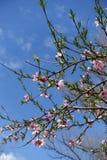 Blühende Pfirsichbaumaste gegen blaue Himmel Stockbild