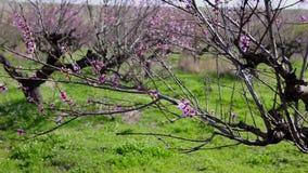 Blühende Pfirsichbaumaste im Frühjahr stock footage