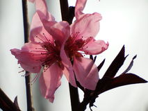 Blühende Pfirsichblüte Lizenzfreie Stockfotos