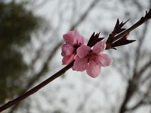 Blühende Pfirsichblüte Stockfoto