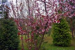 Blühende Pfirsichrosablumen zur Frühlingszeit stockfoto
