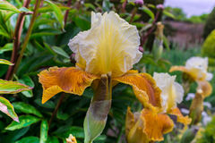 Blühende Pflanze der goldenen Iris Stockfoto