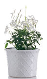 Blühende Pflanze des Jasmins im Topf Lizenzfreie Stockbilder