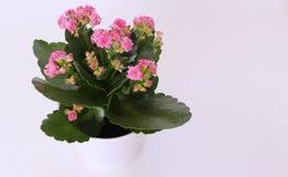 Blühende Pflanze Kalanchoe im Topf auf einem weißen Hintergrund freier Platz für Text Stockfotos