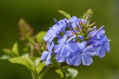 Blühende Pflanze mit blaue Blumenblätter stockfotos