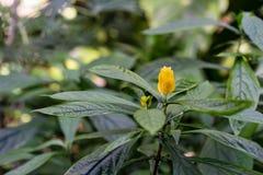 Blühende Pflanze mit der gelben Knospe, pachystachys lutea Acanthaceae Lizenzfreie Stockbilder