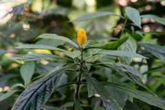 Blühende Pflanze mit der gelben Knospe, pachystachys lutea Acanthaceae Lizenzfreies Stockfoto