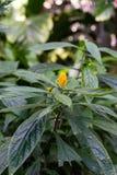 Blühende Pflanze mit der gelben Knospe, pachystachys lutea Acanthaceae Stockbild