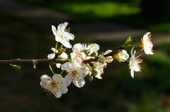 Blühende Pflaume stockfoto