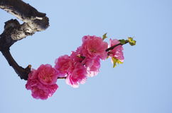 Blühende Pflaume Stockbild