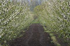 Blühende Pflaume im Garten im Frühjahr Stockbilder