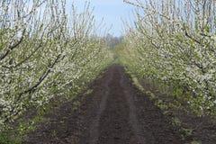 Blühende Pflaume im Garten im Frühjahr Stockbild