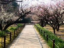 Blühende Pflaumebäume Stockfoto
