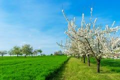 Blühende Pflaumenbäume, Prunus domestica Stockfoto
