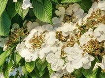 Blühende Philadelphus-Blumen im Garten Süßer Geruch stockfotografie