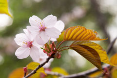 Blühende Plum Tree Lizenzfreie Stockfotografie