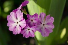 Blühende Primel Stockbilder