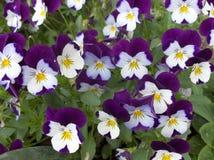 Blühende purpurrot-weiße Pansies, Blumenhintergrund Stockbild