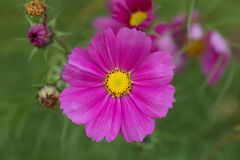 Blühende purpurrote Aster Lizenzfreie Stockfotos