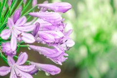 Blühende purpurrote Blume in den botanischen Gärten Lizenzfreies Stockbild