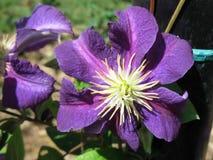 Blühende purpurrote Blumen Stockfotografie