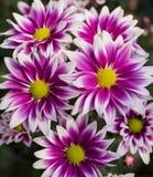 Blühende purpurrote Chrysantheme Lizenzfreie Stockbilder