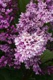Blühende purpurrote Flieder Lizenzfreie Stockbilder
