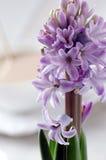 Blühende purpurrote Hyazinthennahaufnahme auf einem hellen Hintergrund Stockfotos