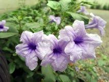 Blühende purpurrote knallende Hülsenblume Lizenzfreie Stockfotos