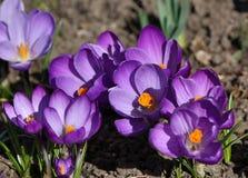Blühende purpurrote Krokusse Lizenzfreie Stockfotos